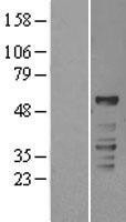 NBL1-15482 - ROR gamma Lysate