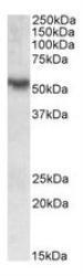 NBP1-72057 - ROR-gamma / RORC