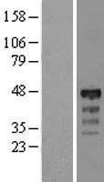 NBL1-11887 - RP5-1077B9.4 Lysate