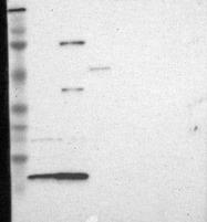 NBP1-87141 - RPA3 / RPA14