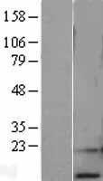 NBL1-15490 - RPA14 Lysate