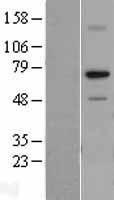 NBL1-15488 - RPA70 Lysate