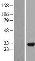 NBL1-15492 - RPAIN Lysate