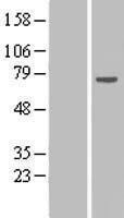 NBL1-15493 - RPAP2 Lysate