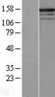 NBL1-15496 - RPGRIP1 Lysate