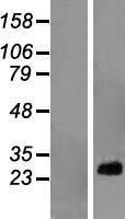 NBL1-15500 - RPL10A Lysate