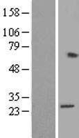 NBL1-15508 - RPL15 Lysate