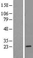 NBL1-15509 - RPL17 Lysate