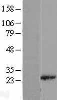 NBL1-15511 - RPL18 Lysate