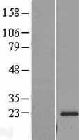 NBL1-15512 - RPL18A Lysate