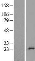 NBL1-15516 - RPL24 Lysate