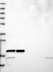 NBP1-80812 - RPL26L1