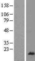 NBL1-15518 - RPL26L1 Lysate