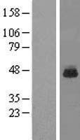 NBL1-15523 - RPL3 Lysate
