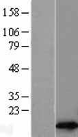 NBL1-15524 - RPL30 Lysate