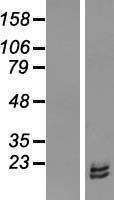 NBL1-15525 - RPL31 Lysate