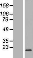 NBL1-15527 - RPL32 Lysate