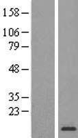 NBL1-15529 - RPL34 Lysate