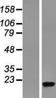 NBL1-15533 - RPL36A Lysate