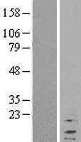 NBL1-15534 - RPL37A Lysate