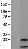 NBL1-15535 - RPL38 Lysate