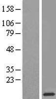 NBL1-15536 - RPL38 Lysate
