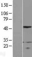 NBL1-15539 - RPL4 Lysate