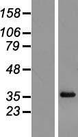 NBL1-15542 - RPL6 Lysate