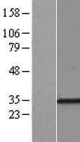 NBL1-15544 - RPL7A Lysate