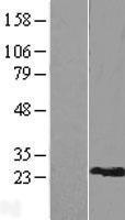 NBL1-15548 - RPL9 Lysate