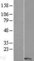 NBL1-15552 - RPP14 Lysate