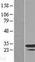 NBL1-15554 - RPP30 Lysate