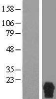 NBL1-15556 - RPRM Lysate