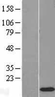 NBL1-15557 - RPS12 Lysate