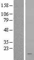 NBL1-15560 - RPS15A Lysate
