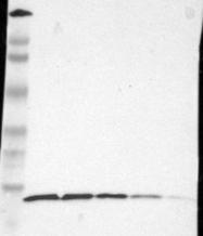 NBP1-80804 - RPS20