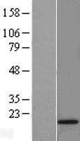 NBL1-15566 - RPS24 Lysate