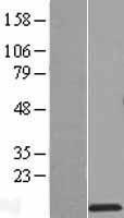 NBL1-15569 - RPS27L Lysate