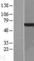 NBL1-15572 - RPS6KA5 Lysate