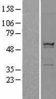 NBL1-15577 - RPS6KL1 Lysate