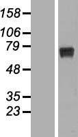 NBL1-15581 - RPUSD2 Lysate