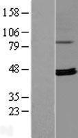 NBL1-15583 - RPUSD4 Lysate