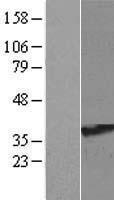 NBL1-15585 - RRAGA Lysate