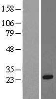 NBL1-15588 - RRAS Lysate