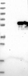 NBP1-85338 - NNP1