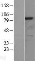 NBL1-15573 - RSK4 Lysate