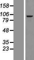 NBL1-15599 - RSPH10B Lysate