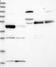 NBP1-84245 - RSPH3