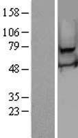 NBL1-15600 - RSPH3 Lysate