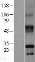 NBL1-15601 - RSPO2 Lysate
